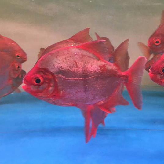 汉中玫瑰银版鱼