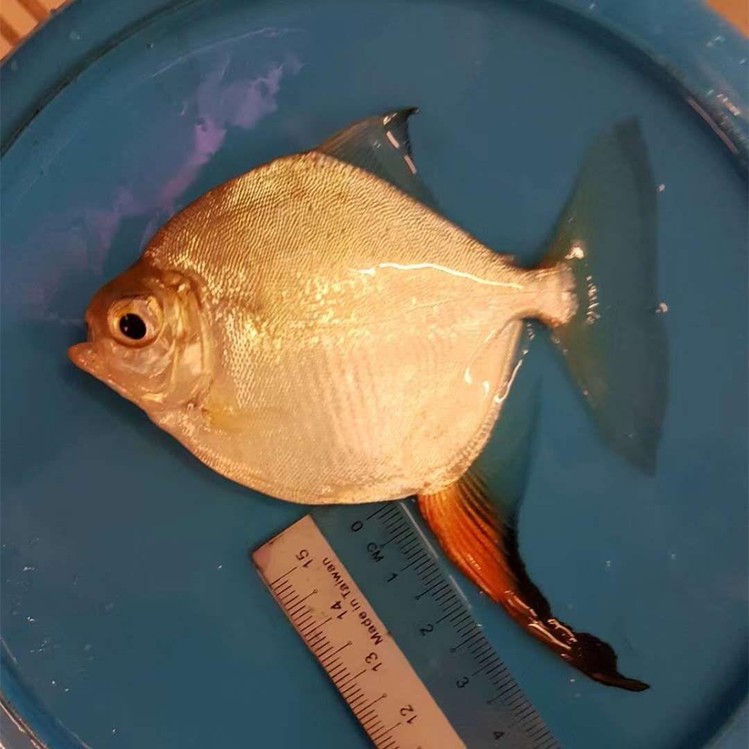 汉中红勾银版鱼
