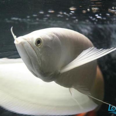 汉中雪龙鱼